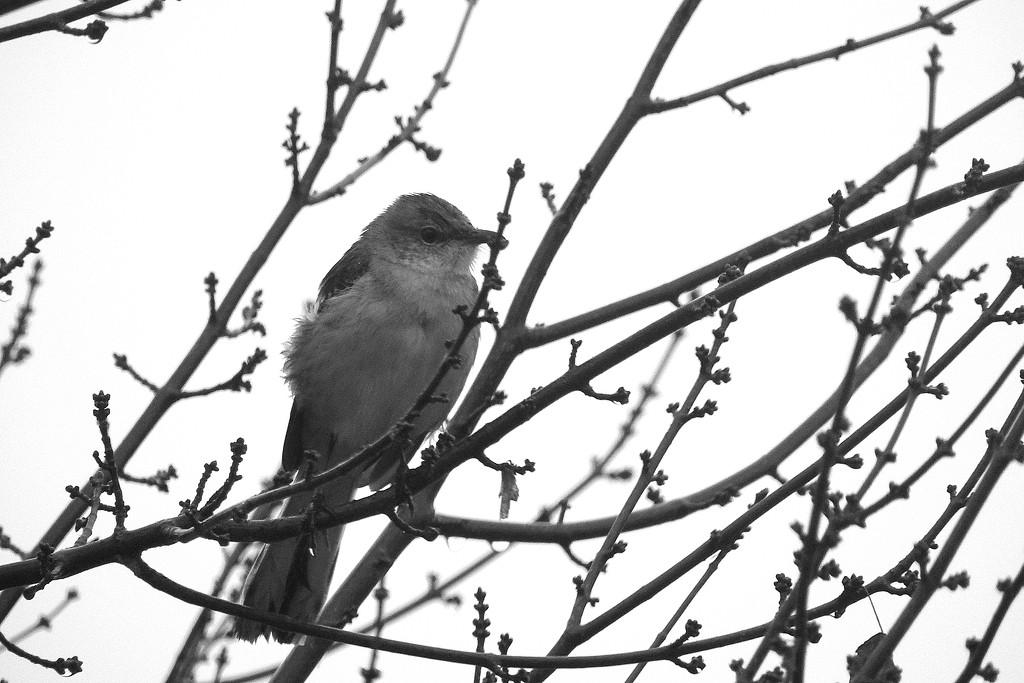Mockingbird in my tree! by homeschoolmom