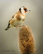 22nd Dec 2017 - Goldfinch
