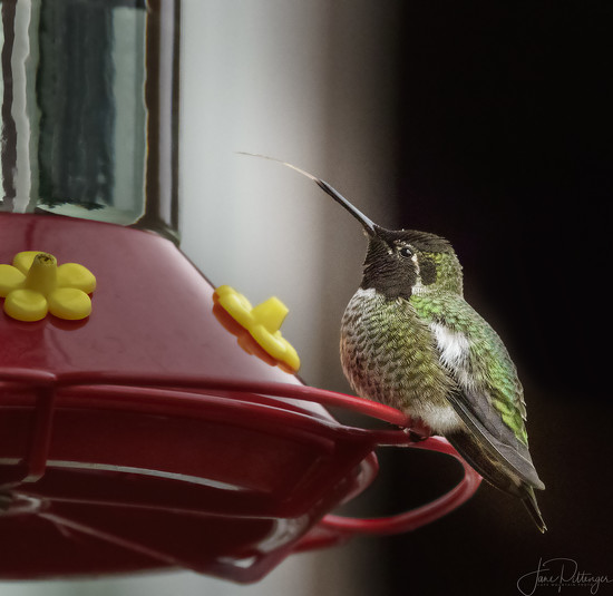 Hummer with Long Tongue  by jgpittenger