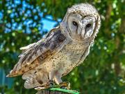 23rd Dec 2017 - Barn Owl........