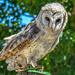 Barn Owl........ by ludwigsdiana