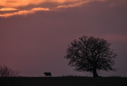 22nd Dec 2017 - The Cow and the Tree