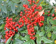 22nd Dec 2017 - Red Berries