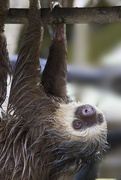 23rd Dec 2017 - Sloths in Costa Rica