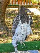 24th Dec 2017 - A female Martial Eagle ....