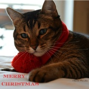 24th Dec 2017 - Toulouse is wishing you a Merry Christmas