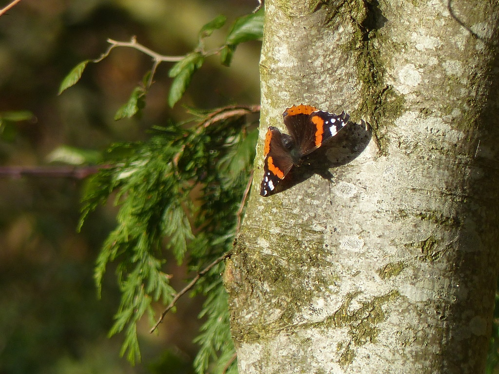 A Very Late Red Admiral  by susiemc