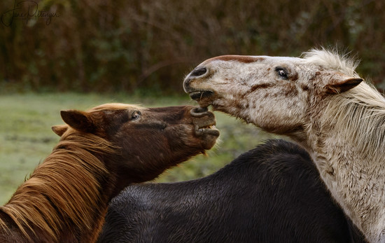 Horses Exchanging Words  by jgpittenger