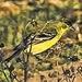 Yellow Bird and Thorns