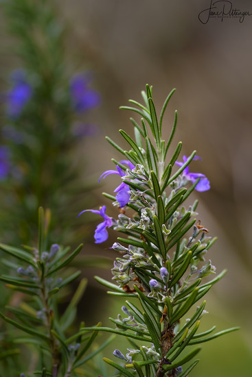 Winter Rosemary by jgpittenger