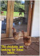 25th Dec 2017 - The chickens on Christmas day