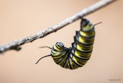 26th Dec 2017 - Monarch Caterpillar