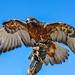 An amazing Hawk ... by ludwigsdiana