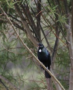22nd Dec 2017 - Tui songster in the Kowhai tree