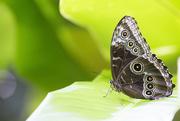 26th Dec 2017 - Owl Butterfly