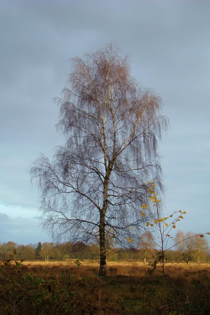 birch tree by gijsje