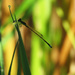 first damselfly