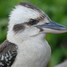 Laughing Kookaburra by hrs