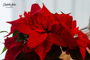 27th Dec 2017 - Poinsettia