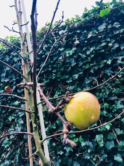 Last Apple in the tree by daan27