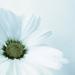Flower review - Chrysanthemum