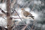 27th Dec 2017 - Dove in snow storm!