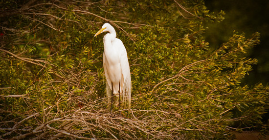Egret With It's Bling On! by rickster549
