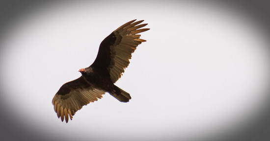 Vulture in the Sky's! by rickster549