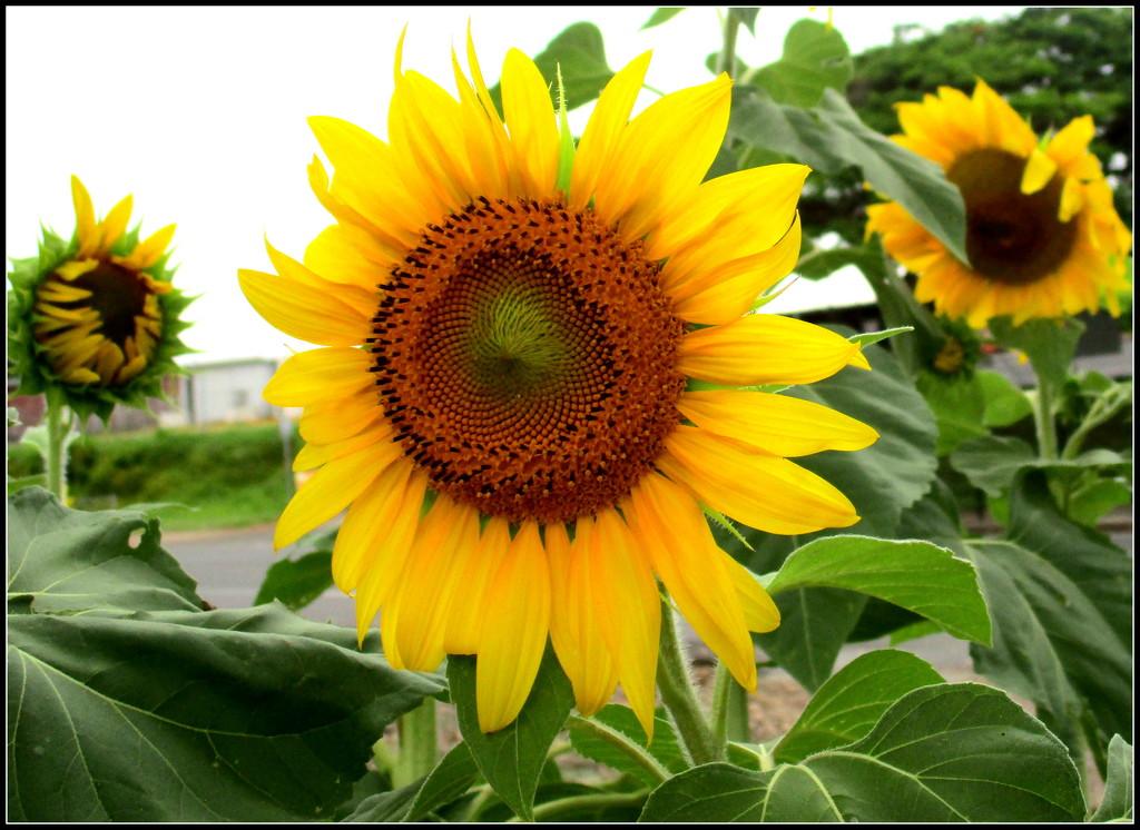 Sunflower in full bloom by 777margo