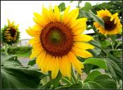29th Dec 2017 - Sunflower in full bloom