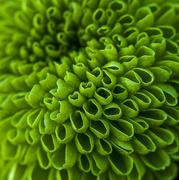 28th Dec 2017 - Chrysanthemum
