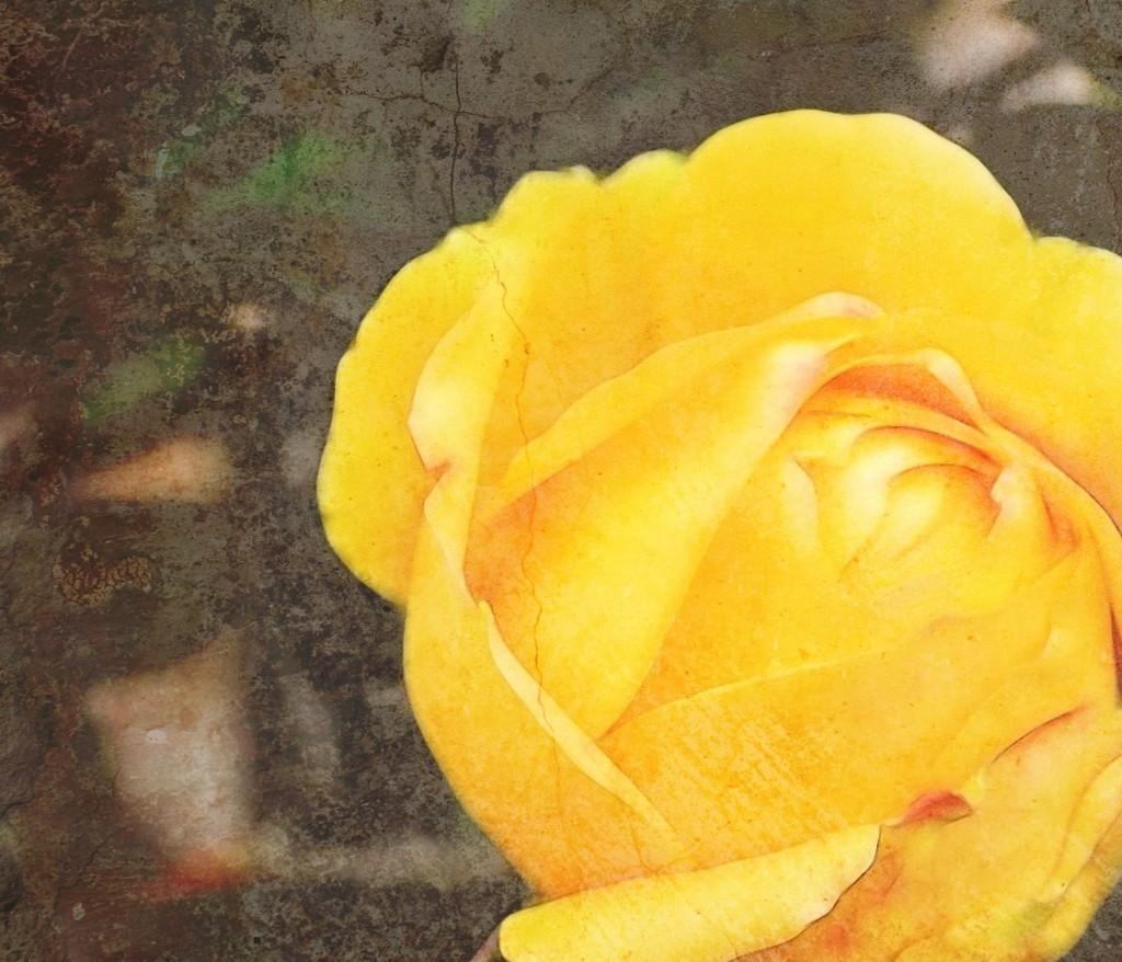 The Cracked Rose by joysfocus