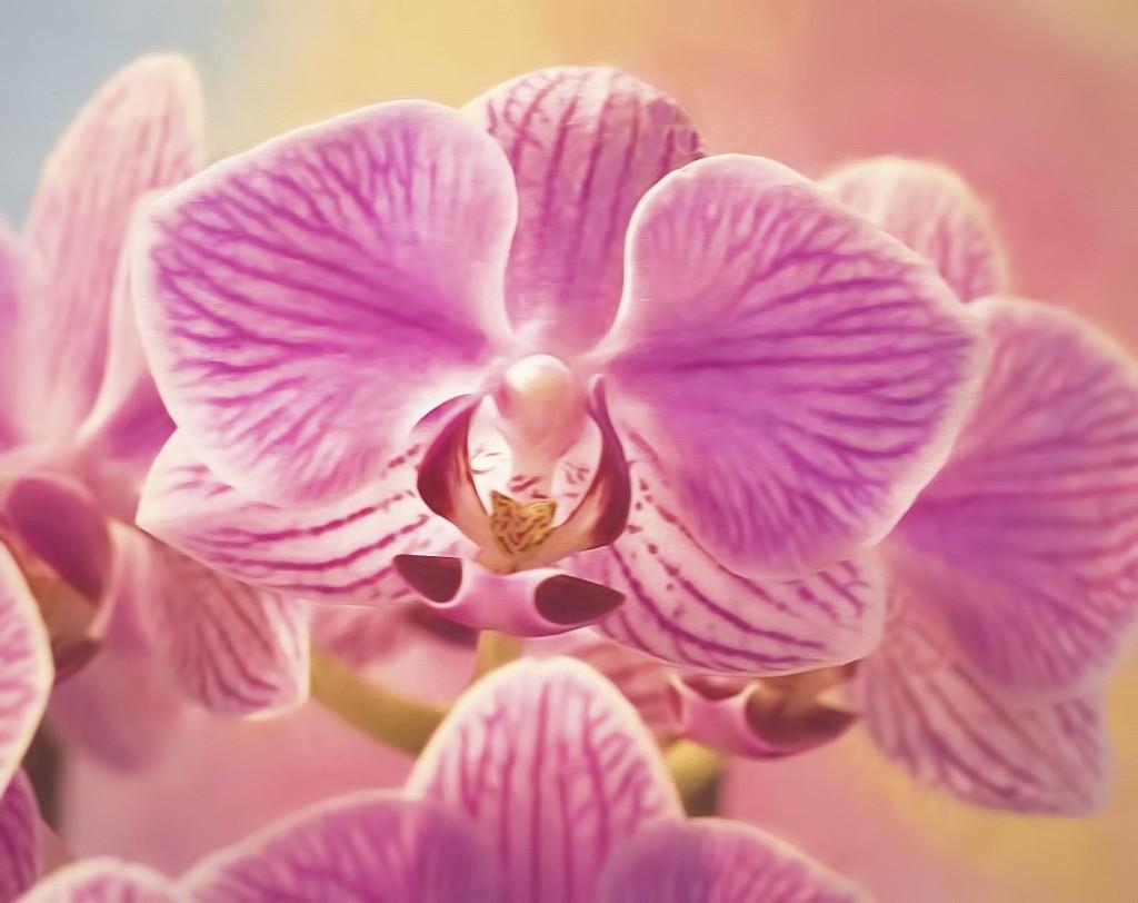 Orchid  by joysfocus