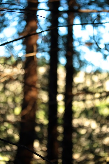 redwood forest by blueberry1222