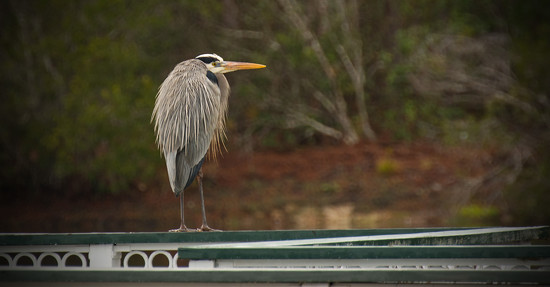 Blue Heron, Taking a Break! by rickster549