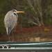 Blue Heron, Taking a Break! by rickster549