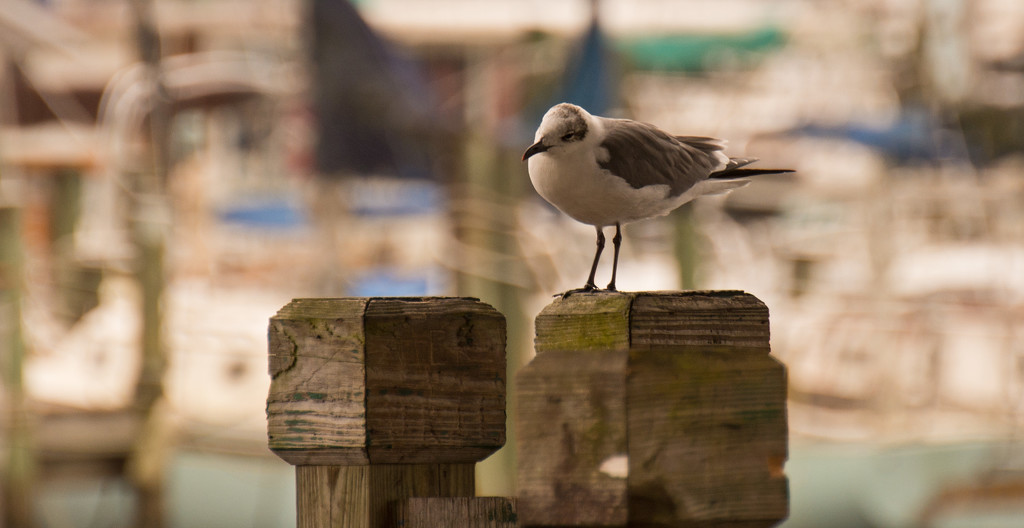 Seagull Looking for Something on the Deck! by rickster549