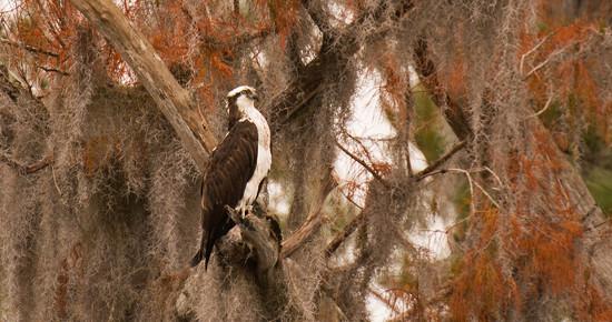 Osprey Sitting Proud! by rickster549