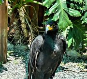 29th Dec 2017 - A Black Eagle seen at Eagle Encounters