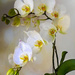 White Orchids  by ludwigsdiana