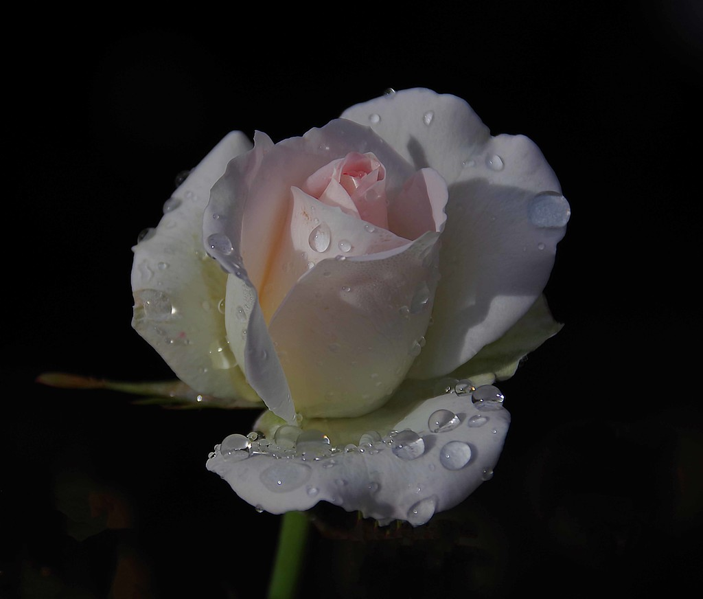 Pale pink rose by maureenpp