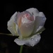 Pale pink rose by maureenpp