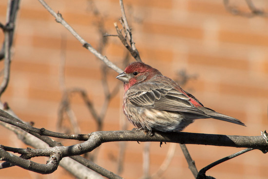 Male House Finch by gaylewood