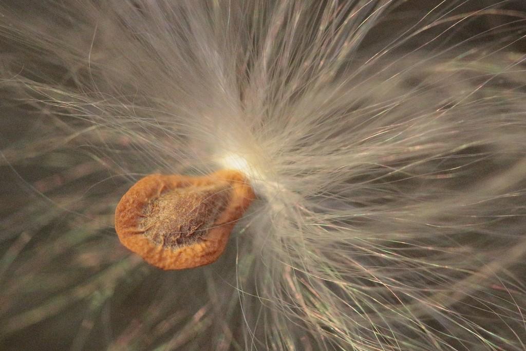 Milkweed Seed by juliedduncan