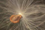 29th Dec 2017 - Milkweed Seed