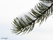 29th Dec 2017 - Pine needles in the snow