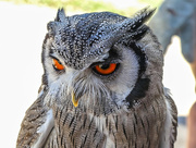 30th Dec 2017 - Southern White Faced Scops Owl.....