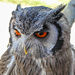 Southern White Faced Scops Owl..... by ludwigsdiana