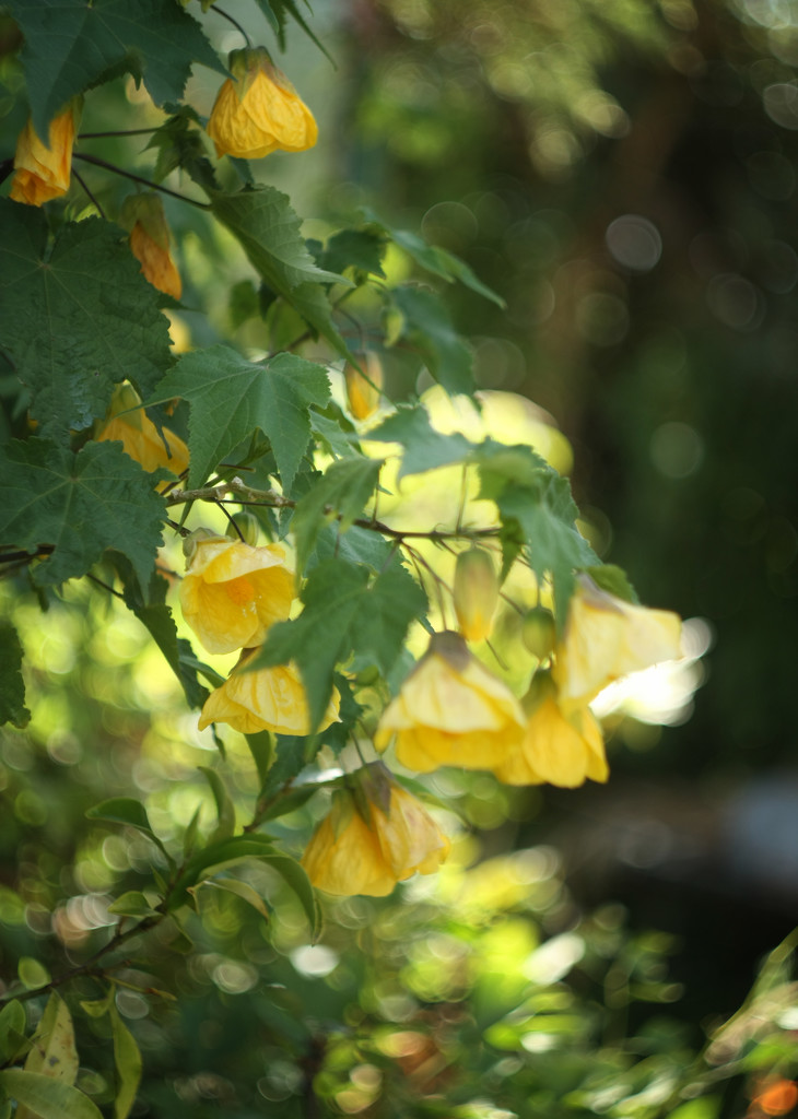 cascading  yellow bells by kali66