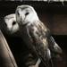 Barn Owls by onewing